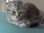 Chat Mizu, scottish foldingue! - Scottish Fold  (0 mois)