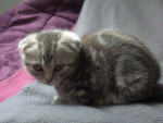 Chat Mizu, scottish foldingue2 - Scottish Fold  (0 mois)