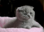 Chat Le Scottish Fold - Scottish Fold Femelle (0 mois)