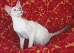 Chat Siamois (moderne) - Siamois  (0 mois)