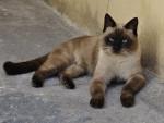 Chat Le Siamois - Siamois  (0 mois)