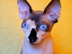 Chat bacchus  , sphynx - Sphynx  (0 mois)