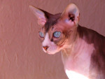 Chat apollon , sphynx - Sphynx  (0 mois)