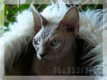 Chat Sphynx Delux - Sphynx  (0 mois)