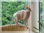 Chat Sphynx Enigma - Sphynx  (0 mois)