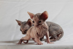 Chat Le Sphinx - Sphynx  (0 mois)