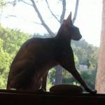 Chat UZZY en ombre ?gyptienne - Sphynx  (0 mois)
