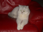 Chat Elmer du Songe d\'Ipanéma, Scottish Straight Black Silver Shaded - Scottish Straight Femelle (0 mois)