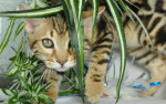 Chat Winny mon petit ourson  ( bengal marble) - Bengal  (0 mois)
