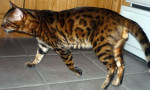Chat Bengal - Bengal Mâle (0 mois)
