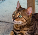 Chat Le Bengal - Bengal  (0 mois)
