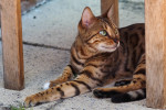 Chat Bengal - Bengal Femelle (0 mois)