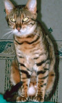Chat Amazone - Bengal Femelle (0 mois)