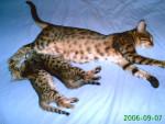 Chat  - Bengal Femelle (0 mois)