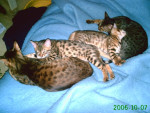 Chat  - Bengal  (0 mois)