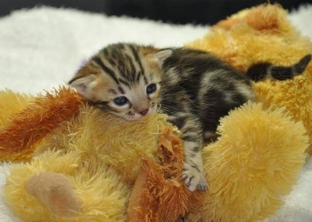Chat Chatons Bengal - Bengal  (0 mois)