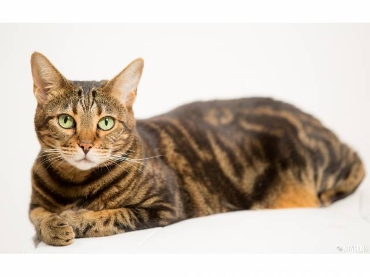 les races de chats les plus hypoallerg nes le bengal. Black Bedroom Furniture Sets. Home Design Ideas