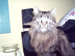 Chat Punky le Maine Coon - Maine Coon  (0 mois)