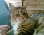 Chat Maine Coon / Warrom - Maine Coon  (0 mois)
