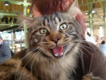 Chat Vinny - Maine coon - Maine Coon Femelle (0 mois)