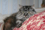 Chat Maine Coon  Biscotte - Maine Coon  (0 mois)