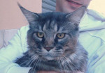 Chat BUGZY (Maine Coon) - Maine Coon  (0 mois)