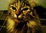 Chat croisée maine coon Jack - Maine Coon  (0 mois)