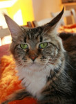 Chat Maine coon     Badiane - Maine Coon  (0 mois)
