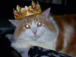 Chat Chataigne Maine Coon - Maine Coon Femelle (0 mois)