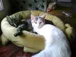 Chat chat domestique  Flanelle  chat croisé maine coon Frimousse - Maine Coon  (0 mois)