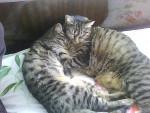 Chat croiser maine coon  Frimousse/chat de gouttière Noisette - Maine Coon  (0 mois)