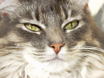 Chat Le Maine Coon - Maine Coon  (0 mois)
