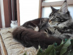 Chat Le Maine Coon - Maine Coon Femelle (0 mois)