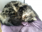 Chat Ma Caline !! - Maine Coon Femelle (3 ans)