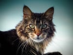 Chat Maine Coon - Maine Coon Femelle (0 mois)