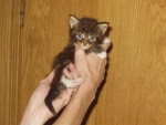 Chat Maine Coon - Maine Coon  (1 mois)