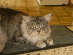 Chat Actaruussssss - Maine Coon  (0 mois)