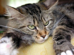 Chat Maine coon - Maine Coon  (3 ans)