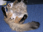 Chat Giovanny chahutte - Maine Coon  (0 mois)