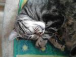 Chat fripouille - Chartreux Mâle (3 ans)