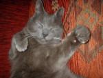 Chat grisou, le chartreux pas commode !!! - Chartreux  (0 mois)