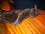 Chat CHARTREUX/FRANKLIN - Chartreux  (0 mois)