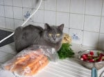 Chat Rafale Chartreux - Chartreux  (0 mois)