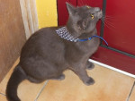 Chat CHARTREUX -SIAMOIS   RAMSES - Chartreux  (0 mois)