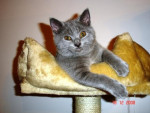 Chat DJazz - Chartreux - Chartreux  (0 mois)
