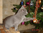 Chat DJazz Chartreux - Chartreux  (0 mois)