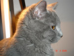 Chat DJazz Chartreux - Chartreux Femelle (0 mois)