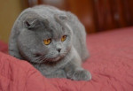 Chat Ganesch  chartreux  - Chartreux  (0 mois)