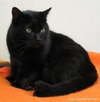Chat black - Chartreux Femelle (1 an)