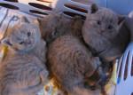 Chat Bb chartreux de la chatterie des felins bleus - Chartreux  (0 mois)
